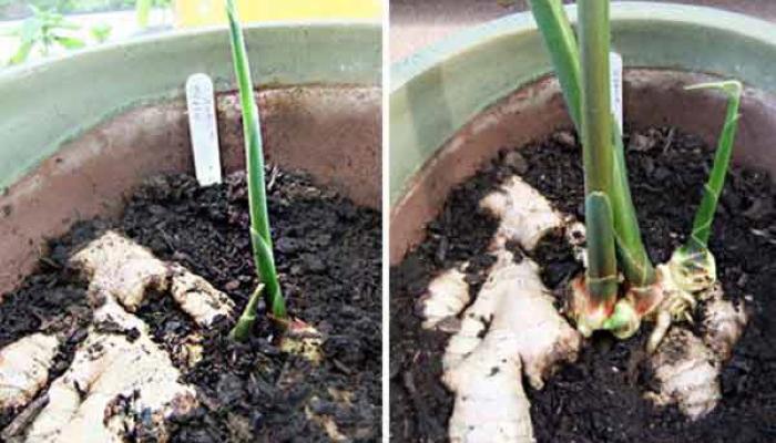 Как легко выращивать имбирь прямо дома!