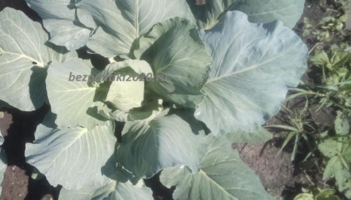 Спорный для садоводов вопрос – можно ли проводить обрезку нижних листьев капусты