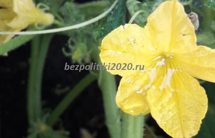 Причины пустоцвета на огурцах в теплице и открытом грунте и как с ним бороться